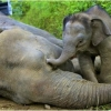 Rare pygmy elephants 'poisoned' in Borneo
