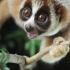 Primate species: new slow loris found in Borneo