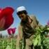 Taliban destroy poppy fields in surprise clampdown on Afghan opium growers