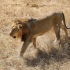 Illegal lion shows go on for Gir tourists
